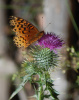 Thistle and Butterfly
